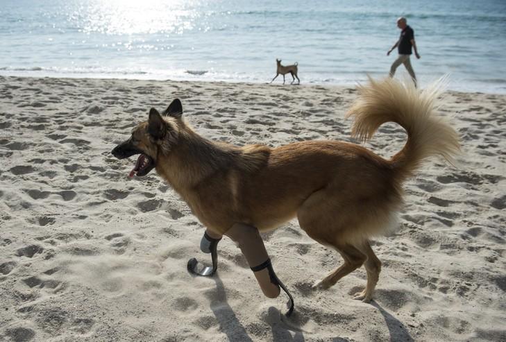 chien-equipe-protheses-dernier-plage-Australie-12-decembre-2017_0_729_493.jpg.7d543dda77fd58b5921ead75a5a73c1e.jpg